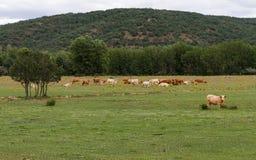 Krajobraz z krowami obrazy royalty free