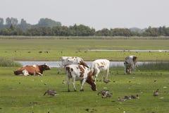 Krajobraz z krowami i gąskami Fotografia Stock