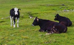 Krajobraz z krowami w górze Fotografia Royalty Free