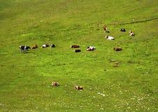 Krajobraz z krowami w górze Obrazy Royalty Free