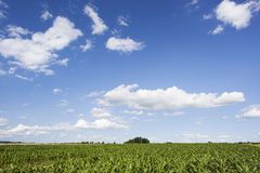 Krajobraz z kukurydzanym polem i niebieskim niebem Zdjęcie Royalty Free
