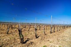krajobraz z kulturą winogrady Obrazy Royalty Free