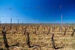 krajobraz z kulturą winogrady Zdjęcia Stock