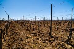 krajobraz z kulturą winogrady Obraz Royalty Free