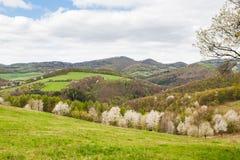 Krajobraz z kwitnąć śliwkowych drzewa Fotografia Stock