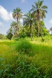 Krajobraz z luksusową zieloną trawą i wysokimi palmami we wnętrzu Gamiba, afryka zachodnia Zdjęcie Royalty Free