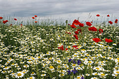 Krajobraz z maczkami i chamomile-1 Obrazy Royalty Free