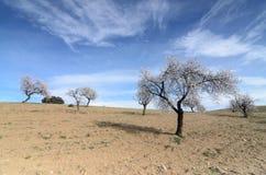 Krajobraz z migdałowymi drzewami Zdjęcie Stock