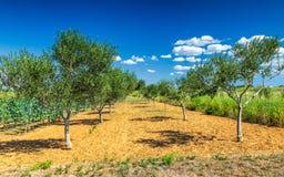 Krajobraz z oliwnym gajem podczas słonecznego dnia Zdjęcia Royalty Free