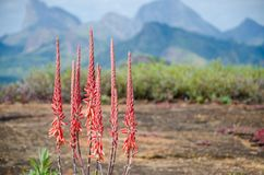 Krajobraz z pięknym czerwonym kwiatem i górami wnętrze Angola w tle, afryka poludniowa Zdjęcia Stock