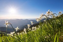Krajobraz z pięknymi daffodil kwiatami mgiełek wysokie góry Miejsce kurort dla turystów Lokacja Karpackie góry zdjęcie royalty free