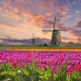 Krajobraz z polem tulipan Zdjęcia Royalty Free