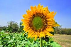 Krajobraz z słonecznikiem Fotografia Stock