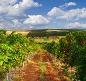 Krajobraz z winnicą w wzgórzach Fotografia Stock