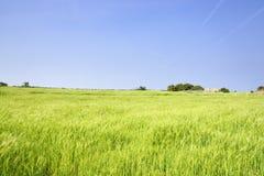 Krajobraz zielony jęczmienia pole, horyzont i fotografia stock