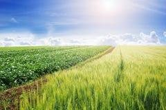 Krajobraz zielony jęczmienia pole Zdjęcia Royalty Free