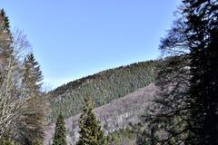 krajobrazowa las sosna Obrazy Royalty Free
