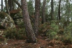 krajobrazowa las sosna Zdjęcia Stock