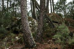 krajobrazowa las sosna Obrazy Stock