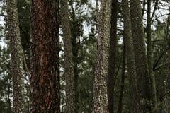 krajobrazowa las sosna Zdjęcie Royalty Free