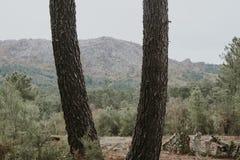 krajobrazowa las sosna Obraz Stock