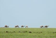 Krajobrazowa natura. Wielbłądy w mgiełce. Afryka, Kenja. Fotografia Stock