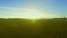 Krajobrazowego lata pszeniczny pole na tła niebieskim niebie Zbożowego pola antena zdjęcie wideo