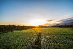 Krajobrazowi śródpolni ryż w ranku Fotografia Royalty Free