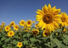 krajobrazowi słoneczniki Zdjęcie Stock
