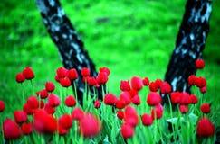 krajobrazowi tulipany Fotografia Stock