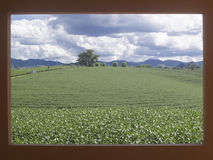 Krajobrazowy herbaty gospodarstwo rolne z dramat chmurą na czerwieni ramie Fotografia Stock
