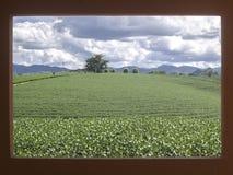 Krajobrazowy herbaty gospodarstwo rolne z dramat chmurą na czerwieni ramie Zdjęcia Stock