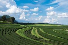 Krajobrazowy herbaty pole z niebieskim niebem Zdjęcia Royalty Free