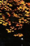 krajobrazowy jesień klon fotografia stock