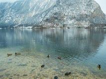 Krajobrazowy jeziorny łabędź, kaczka ptasi Hallstatt w Austria zimy sezonu śniegu górze zdjęcie stock