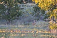 Krajobrazowy obrazek ogromna typowa whitetail samiec podczas rutting sezonu obrazy royalty free