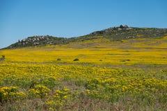 Krajobrazowy pole kolor żółty kwitnie na wzgórze wierzchołku z głębokim niebieskim niebem wzdłuż zachodniego wybrzeża Południowa  Zdjęcie Royalty Free