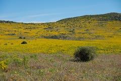 Krajobrazowy pole kolor żółty kwitnie na wzgórze wierzchołku z głębokim niebieskim niebem wzdłuż zachodniego wybrzeża Południowa  Zdjęcia Royalty Free