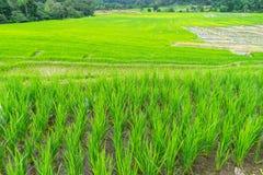 Krajobrazowy ryżu pole w Chiang mai 1 fotografia royalty free