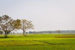 Krajobrazowy widok Żółty koloru rapeseed przegląd kwitnie Na horyzoncie las Nadia, Zachodni Bengalia, India obraz stock