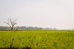 Krajobrazowy widok Żółty koloru rapeseed przegląd kwitnie Na horyzoncie las Nadia, Zachodni Bengalia, India fotografia royalty free