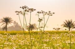 Krajobrazowy widok Żółty koloru rapeseed przegląd kwitnie Na horyzoncie las Nadia, Zachodni Bengalia, India obrazy stock