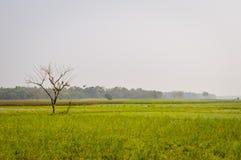 Krajobrazowy widok Żółty koloru rapeseed przegląd kwitnie Na horyzoncie las Nadia, Zachodni Bengalia, India zdjęcia royalty free