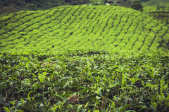 Krajobrazowy widok Herbaciana plantacja w Cameron średniogórzu Obraz Royalty Free