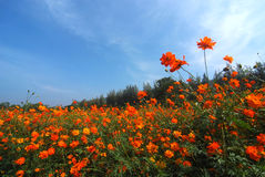 Krajobrazowy widok kosmosu kwiatu pole zdjęcia stock
