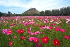 Krajobrazowy widok kosmosu kwiatu pole Zdjęcia Royalty Free