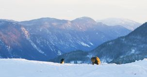 Krajobrazowy widok z złotego orła łasowaniem na nieżywym zwierzęciu w górach przy zimą zdjęcie wideo