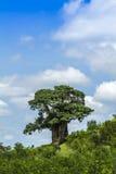 Krajobrazu i baobabu drzewo w Kruger parku narodowym Fotografia Royalty Free