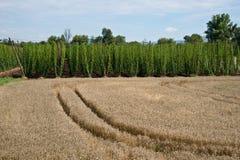 krajobrazu wiejskiego Pszeniczny pole i chmielu pole obraz stock