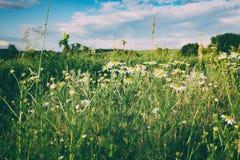 krajobrazu wiejskiego Rumianki na przedpolu stonowany Zdjęcie Royalty Free